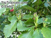 Aucuba japonica, Japanese Aucuba, Japanese LaurelClick to see full-size image