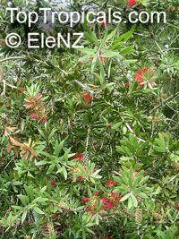 Callistemon comboynensis, Cliff Bottlebrush, Comboyne BottlbrushClick to see full-size image