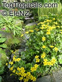 Caltha palustris, Marsh Marigold, Cowflock, Cowslip, Kingcup