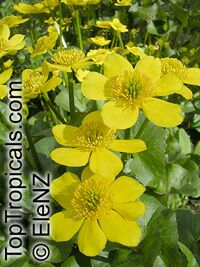 Caltha palustris, Marsh Marigold, Cowflock, Cowslip, Kingcup  Click to see full-size image