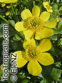 Caltha palustris, Marsh Marigold, Cowflock, Cowslip, KingcupClick to see full-size image