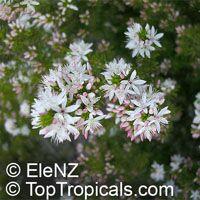 Calytrix tetragona, Calytrix sullivanii, Fringe Myrtle, Star flowersClick to see full-size image