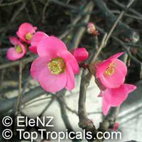 Chaenomeles sp., Flowering quince, Dwarf quinceClick to see full-size image