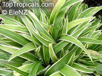 Chlorophytum sp., Spider PlantClick to see full-size image