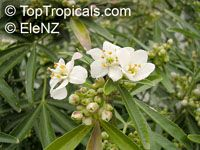 Choisya 'Aztec Pearl', Mexican Orange Blossom