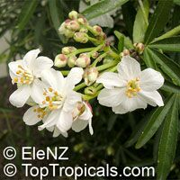 Choisya 'Aztec Pearl', Mexican Orange Blossom  Click to see full-size image