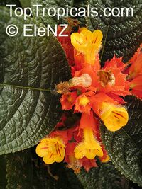 Chrysothemis pulchella, Copper LeafClick to see full-size image