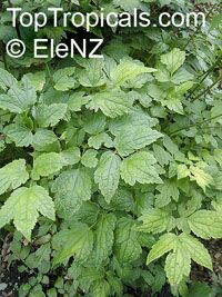 Cimicifuga racemosa, Black Cohosh, Squawroot  Click to see full-size image