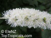 Cimicifuga racemosa, Black Cohosh, SquawrootClick to see full-size image