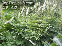 Cimicifuga racemosa, Black Cohosh, Squawroot