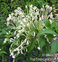 Clerodendrum incisum - Musical Note  Click to see full-size image