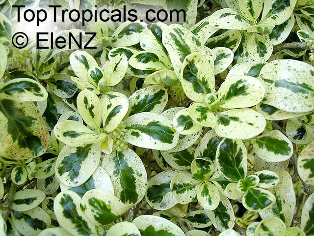 Coprosma Repens Dwarf Variegated Mirror Plant