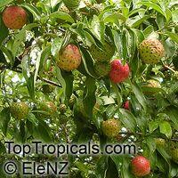 Cornus capitata, Benthamia fragifera, Dendrobenthamia capitata, Himalayan Strawberry tree, Ewergreen Dogwood, Bentham's Cornus  Click to see full-size image
