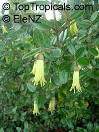 Correa backhousiana, Velvet Correa, Backhous fuchsia  Click to see full-size image