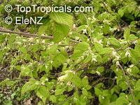 Corylopsis pauciflora, Buttercup Winter Hazel  Click to see full-size image