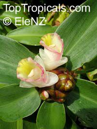 Costus afer (?), Spiral Ginger