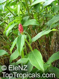 Costus woodsonii, Red Button Ginger, Scarlet spiral flag, French Kiss, Dwarf Cone Ginger  Click to see full-size image