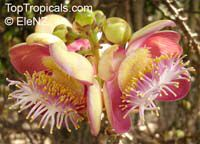 Couroupita guianensis, Cannonball Tree  Click to see full-size image