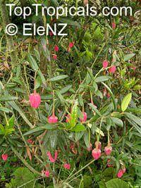 Crinodendron hookerianum, Tricuspidaria lanceolat, Chilean Lantern Tree  Click to see full-size image