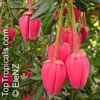 Crinodendron hookerianum, Tricuspidaria lanceolat, Chilean Lantern Tree