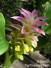 Curcuma longa - Turmeric  Click to see full-size image