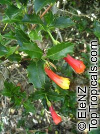 Desfontainea spinosa, Chilean False Holly  Click to see full-size image