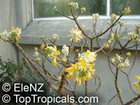 Edgeworthia chrysantha, Giant Leaf Paper Plant