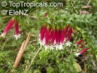 Epacris longifolia, Native Fuchsia, Fuchsia Heath  Click to see full-size image