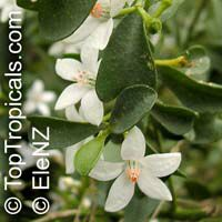 Eriostemon sp., Wax Flower  Click to see full-size image