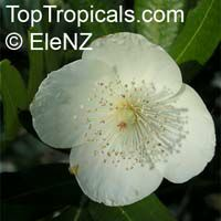 Eucryphia moorei, Pinkwood