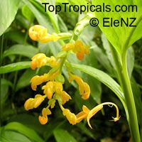 Globba schomburgkii, Dancing Girl GingerClick to see full-size image
