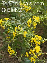 Goodia lotifolia, Golden Tip, Clover Bush, Yellow Pea  Click to see full-size image