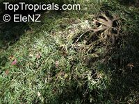 Grevillea Bronze Rambler, Bronze Rambler  Click to see full-size image