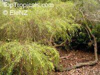 Grevillea glabrata, Grevillea  Click to see full-size image