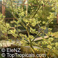 Hamamelis mollis, Chinese Witch HazelClick to see full-size image