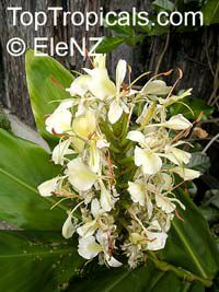 Hedychium flavum, Yellow Butterfly Ginger, Nardo Ginger Lily  Click to see full-size image