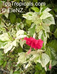 Hibiscus Snow Queen, Hibiscus Snow Queen