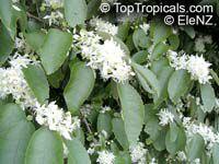 Hoheria sp., Houhere, Lacebark, RibbonwoodClick to see full-size image