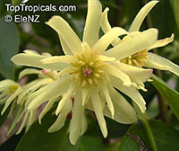 Illicium parviflorum - False Anise  Click to see full-size image