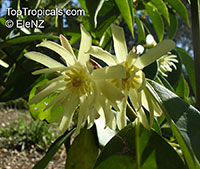 Illicium sp., False Anise, Anise Tree, Star Anise, Licorice  Click to see full-size image