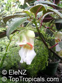 Impatiens velvetea, Secret Love