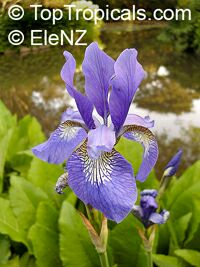 Iris sp. ( Laevigatae group ), Water Irises