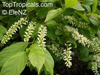 Itea virginica, Virginia Sweetspire  Click to see full-size image
