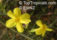 Jasminum nudiflorum, Winter jasmine  Click to see full-size image
