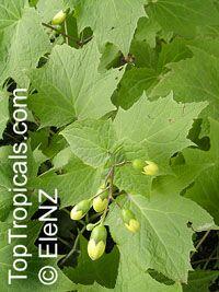 Kirengeshoma palmata, Yellow Waxbells  Click to see full-size image