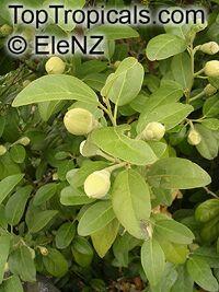 Lagunaria patersonia, Hibiscus patersonia, Laguna squamea, Primrose Tree, Cow Itch Tree  Click to see full-size image