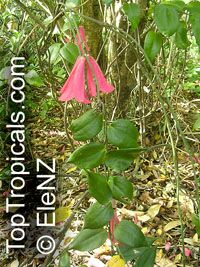Lapageria rosea, Chilean Bellflower, Copihue