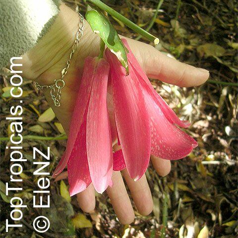 Venta de copihue lapageria rosea flor nacional de chile for Infos jardin