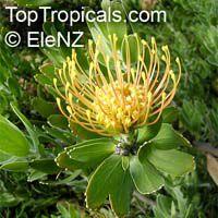 Leucospermum cordifolium, Leucospermum nutans, Nodding Pincushion  Click to see full-size image