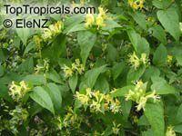 Lonicera quinquelocularis, Translucent Honeysuckle  Click to see full-size image